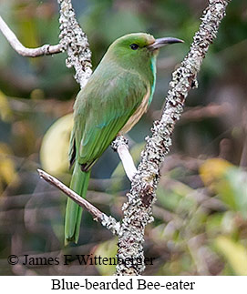 Blue-bearded Bee-eater - © James F Wittenberger and Exotic Birding Tours