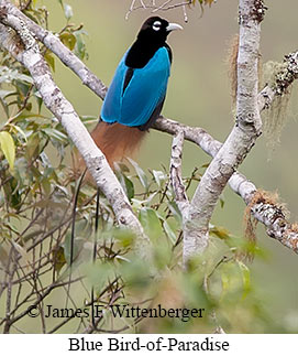 Blue Bird-of-Paradise - © James F Wittenberger and Exotic Birding LLC