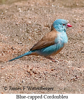 Blue-capped Cordonbleu - © James F Wittenberger and Exotic Birding LLC