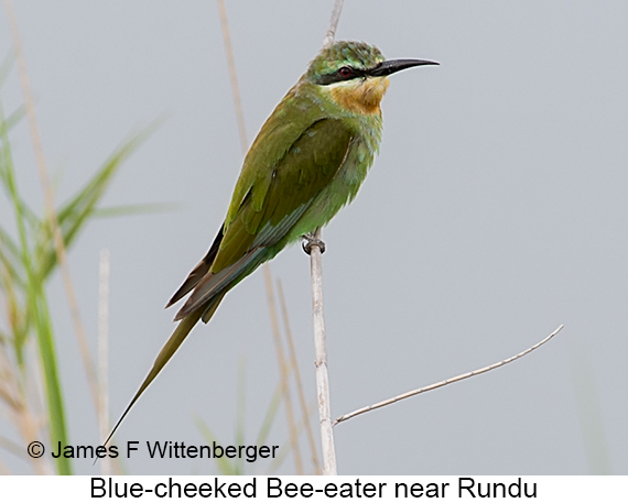 Blue-cheeked Bee-eater - © James F Wittenberger and Exotic Birding LLC