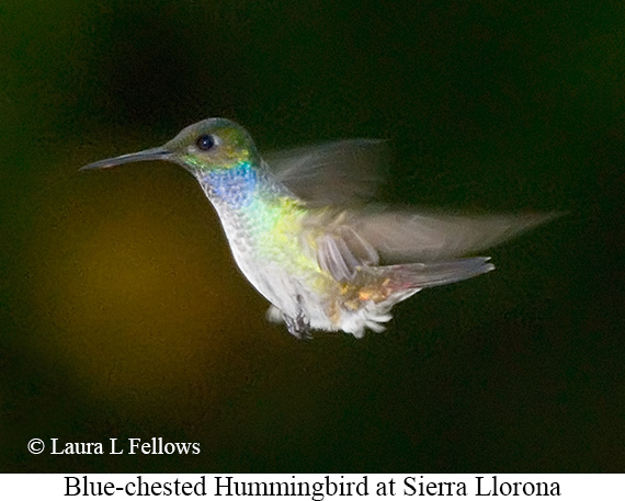 Blue-chested Hummingbird - © Laura L Fellows and Exotic Birding Tours
