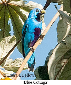 Blue Cotinga - © Laura L Fellows and Exotic Birding LLC
