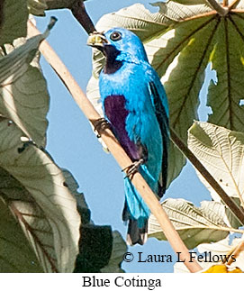 Blue Cotinga - © Laura L Fellows and Exotic Birding Tours