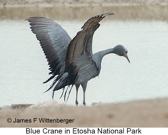 Blue Crane - © Laura L Fellows and Exotic Birding Tours