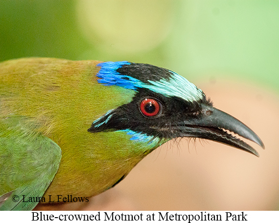 Blue-crowned Motmot - © The Photographer and Exotic Birding LLC
