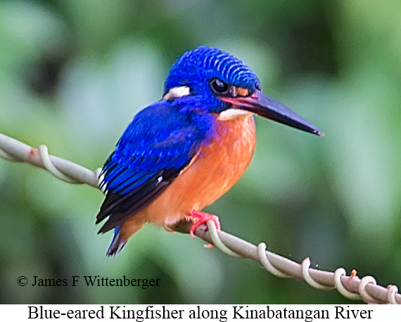 Blue-eared Kingfisher - © James F Wittenberger and Exotic Birding Tours