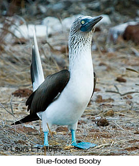 Blue-footed Booby - © Laura L Fellows and Exotic Birding LLC