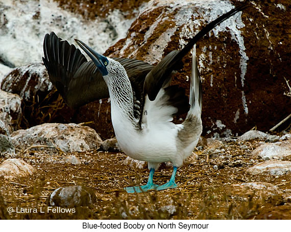 Blue-footed Booby - © The Photographer and Exotic Birding LLC