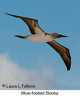 Blue-footed Booby - © Laura L Fellows and Exotic Birding Tours