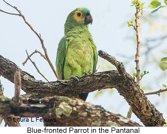 Turquoise-fronted Parrot - © Laura L Fellows and Exotic Birding LLC