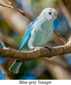 Blue-gray Tanager - © Laura L Fellows and Exotic Birding Tours
