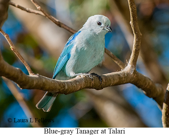 Blue-gray Tanager - © Laura L Fellows and Exotic Birding LLC
