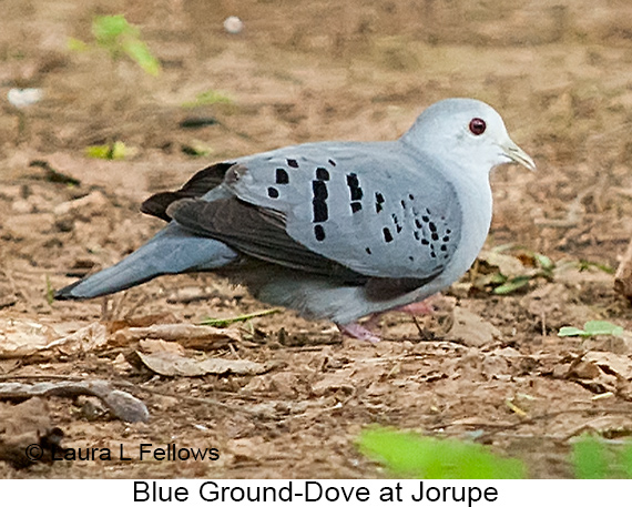 Blue Ground-Dove - © Laura L Fellows and Exotic Birding LLC