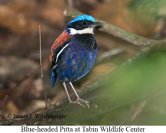 Blue-headed Pitta - © James F Wittenberger and Exotic Birding Tours