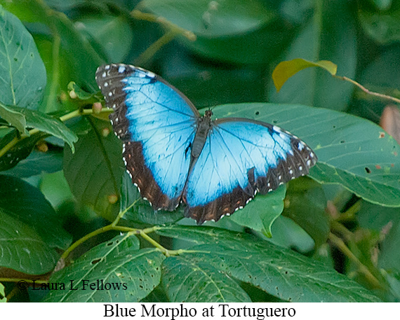 Blue Morpho - © Laura L Fellows and Exotic Birding Tours