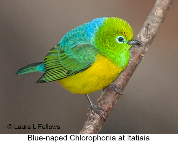Blue-naped Chlorophonia - © Laura L Fellows and Exotic Birding LLC