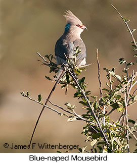 Blue-naped Mousebird - © James F Wittenberger and Exotic Birding LLC