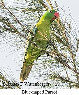 Blue-naped Parrot - © James F Wittenberger and Exotic Birding LLC