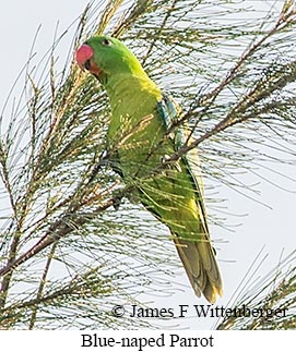 Blue-naped Parrot - © James F Wittenberger and Exotic Birding Tours