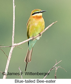 Blue-tailed Bee-eater - © James F Wittenberger and Exotic Birding Tours