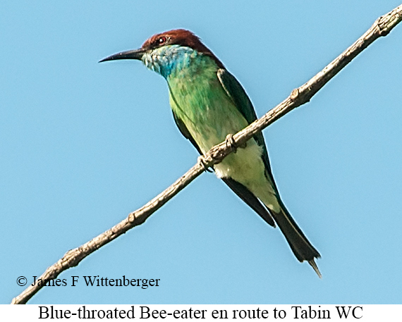 Blue-throated Bee-eater - © James F Wittenberger and Exotic Birding Tours