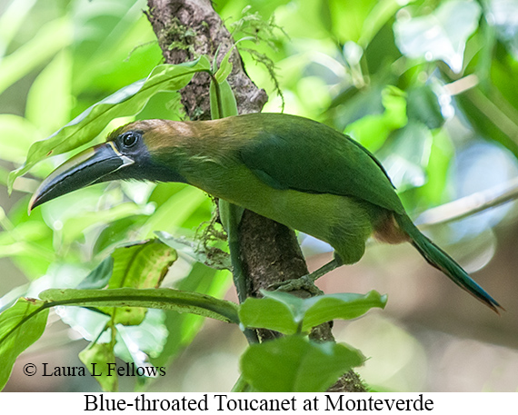 Blue-throated Toucanet - © Laura L Fellows and Exotic Birding Tours