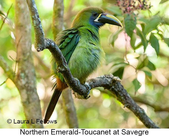 Northern Emerald-Toucanet - © Laura L Fellows and Exotic Birding Tours