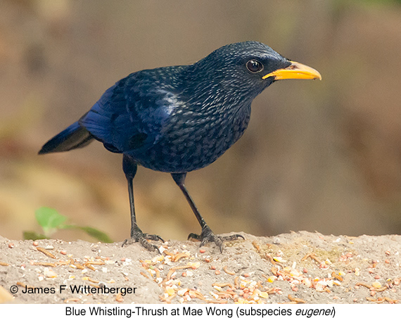 Blue Whistling-Thrush - © James F Wittenberger and Exotic Birding Tours