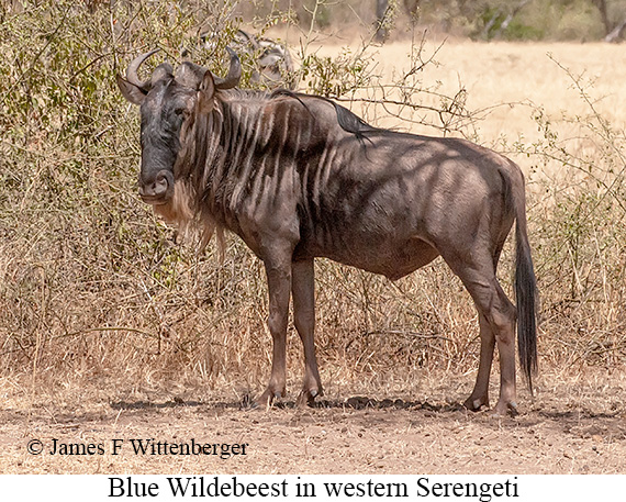 Blue Wildebeest - © James F Wittenberger and Exotic Birding Tours