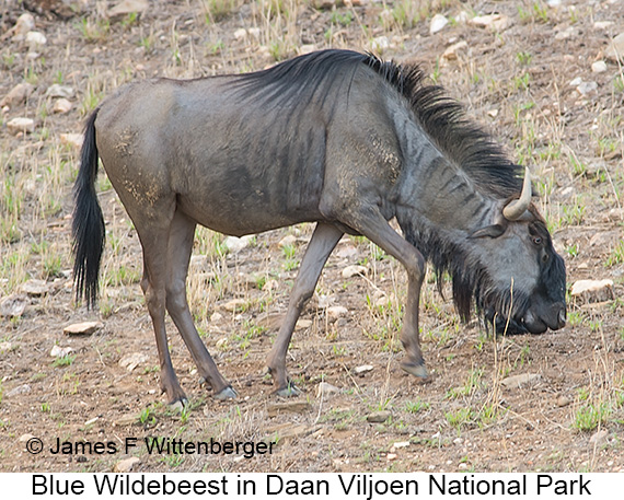 Blue Wildebeest - © The Photographer and Exotic Birding LLC
