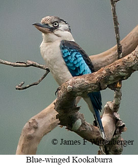 Blue-winged Kookaburra - © James F Wittenberger and Exotic Birding LLC