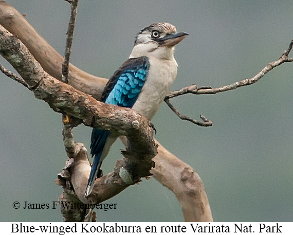 Blue-winged Kookaburra - © James F Wittenberger and Exotic Birding Tours