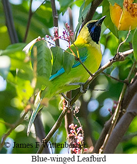 Blue-winged Leafbird - © James F Wittenberger and Exotic Birding Tours