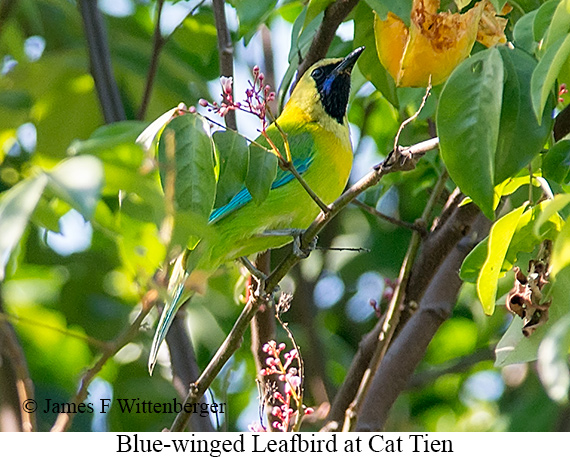 Blue-winged Leafbird - © James F Wittenberger and Exotic Birding LLC