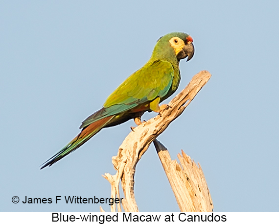 Blue-winged Macaw - © The Photographer and Exotic Birding LLC