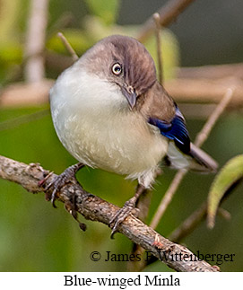 Blue-winged Minla - © James F Wittenberger and Exotic Birding Tours