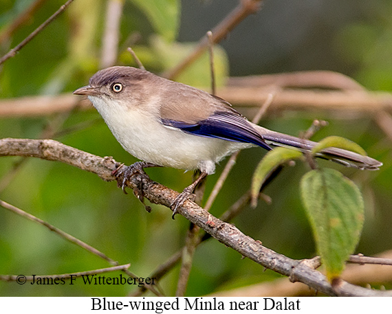 Blue-winged Minla - © The Photographer and Exotic Birding LLC