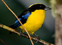 Blue-winged Mountain-Tanager - © The Photographer and Exotic Birding LLC