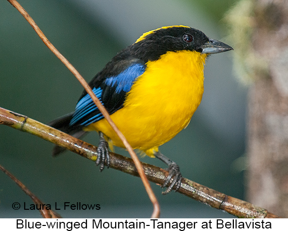 Blue-winged Mountain-Tanager - © Laura L Fellows and Exotic Birding Tours