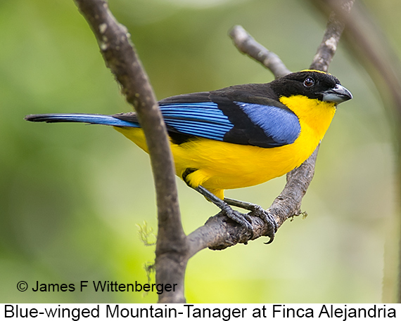 Blue-winged Mountain-Tanager - © James F Wittenberger and Exotic Birding LLC