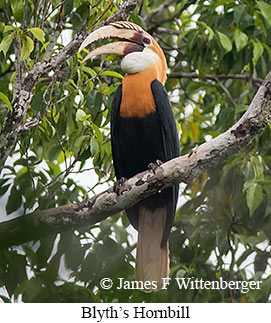 Blyth's Hornbill - © James F Wittenberger and Exotic Birding LLC