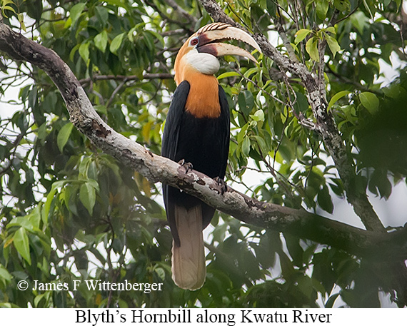 Blyth's Hornbill - © James F Wittenberger and Exotic Birding Tours