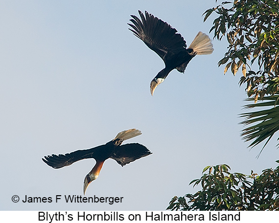 Blyth's-hornbills Flying - © The Photographer and Exotic Birding LLC