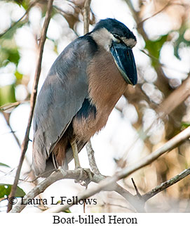 Boat-billed Heron - © Laura L Fellows and Exotic Birding LLC