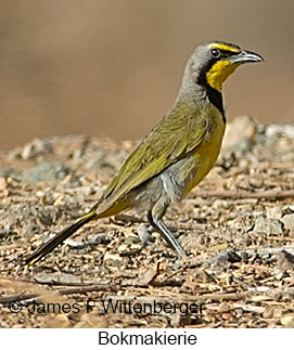 Bokmakierie - © James F Wittenberger and Exotic Birding LLC