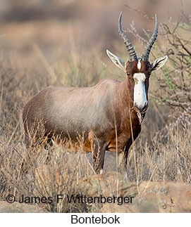 Bontebok - © James F Wittenberger and Exotic Birding LLC