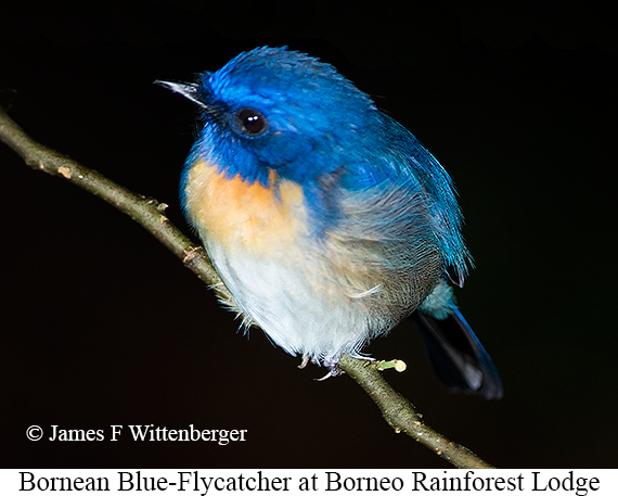 Bornean Blue-Flycatcher - © James F Wittenberger and Exotic Birding Tours