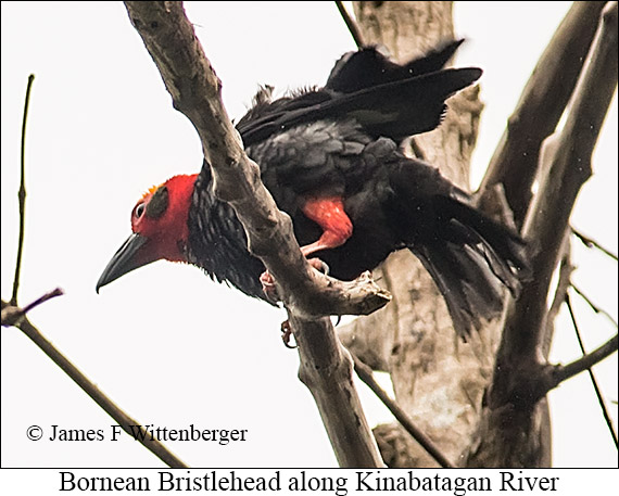 Bornean Bristlehead - © James F Wittenberger and Exotic Birding Tours
