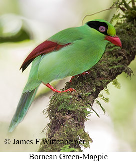 Bornean-green Magpie - © James F Wittenberger and Exotic Birding Tours