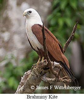 Brahminy Kite - © James F Wittenberger and Exotic Birding Tours